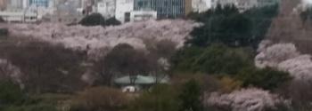 2017.4.6ミロンガ会場から見た新宿御苑の満開の桜.jpg