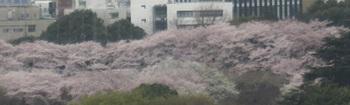 四谷地域センターから見た満開の桜並木.jpg