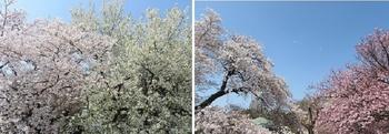 2019.4.7新宿御苑の桜.jpg
